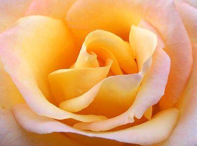 yellow_rose.jpg